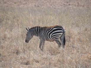 Zebra, Nairobi National Park